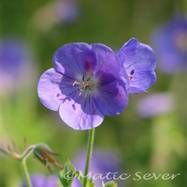 Geranium 'Brookside'_ (Custom).jpg