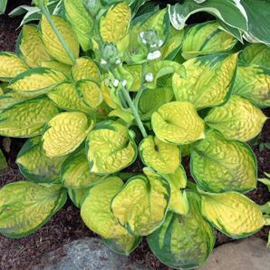 hosta-leta-2013-je-rainforest-sunrise
