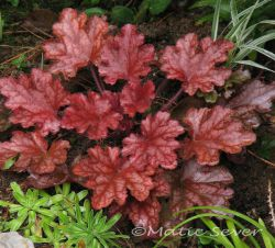Heuchera 'Georga Peach'