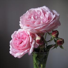 vrtnica 'Pre�eren'