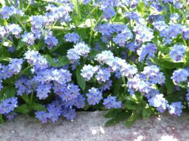 V vrtnarstvu sajene spomin?ice so selekcije, ki ostanejo nizke, kompaktne in so bogato cvetive