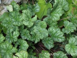 Heuchera sanguinea 'White Cloud'