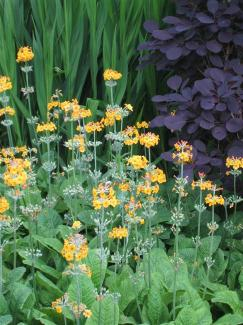 Jegli?i najlep�e uspevajo v vla�nih, odcednih tleh, polnih organskih snovi. Sadimo jih lahko v polsenco in v hladnej�e lege na soncu.