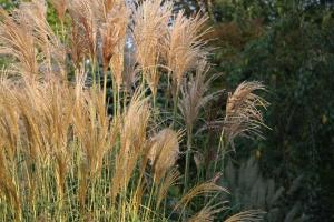 Okrasna trava